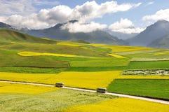 Rapeseedfält och kornfält Fotografering för Bildbyråer