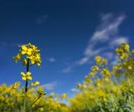 Rapeseedflower Royalty Free Stock Photography