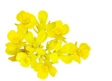 Rapeseeds Stock Images