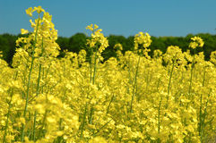 Rapeseeds - GMO Royalty Free Stock Images