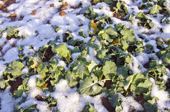 Rapeseeds plant seedling leaves in winter covered snow Stock Photos