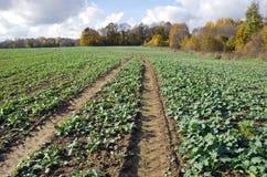 Rapeseeds rozsadowej uprawy pole w jesień czasie Zdjęcia Royalty Free