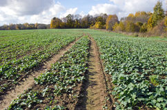 Rapeseeds seedling crop field in autumn time Royalty Free Stock Photos