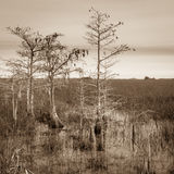 Rapetissez les arbres de Cypress Photos stock