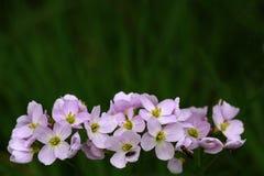 Raphanistrum de Raphanus de fleurs sauvages avec des insectes Images stock