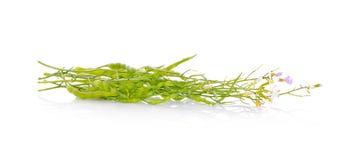 Raphanus Linn sativus var caudatus Alef d'isolement sur le dos de blanc Image libre de droits