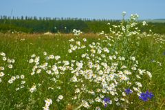 Rapid daisies flowering in a meadow Stock Photography