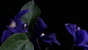 Rapid flowering of blue flower stock video footage