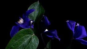 Rapid flowering of flowers stock video