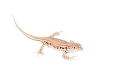 The rapid fringe-toed lizard on white Royalty Free Stock Photos