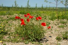 Rapid red poppy flowering Stock Image