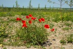 Rapid red poppy flowering Stock Image