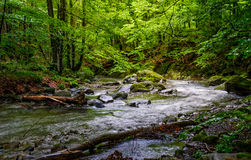 Rapid stream in green forest. Rapid stream flow through ancient green Carpathian forest. stones covered with moss lay on the shore. beautiful nature view in Stock Image