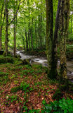 Rapid stream in green forest. Rapid stream flow through ancient green Carpathian forest. stones covered with moss lay on the shore. beautiful nature view in Stock Images