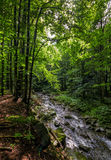 Rapid stream in green forest. Rapid stream flow through ancient green Carpathian forest. stones covered with moss lay on the shore. beautiful nature view in Royalty Free Stock Images
