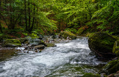 Rapid stream in green forest. Rapid stream flow through ancient green Carpathian forest. stones covered with moss lay on the shore. beautiful nature view in Royalty Free Stock Image