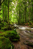 Rapid stream in green forest. Rapid stream flow through ancient green forest. stones covered with moss lay on the shore. beautiful nature view in summer time Royalty Free Stock Photography