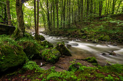 Rapid stream in green forest. Rapid stream flow through ancient green forest. stones covered with moss lay on the shore. beautiful nature view in summer time Stock Photos