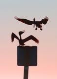 rapidamente il suo tempo della cartolina! - Pellicani di Brown, Florida Fotografia Stock Libera da Diritti