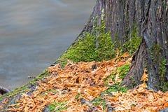 Rapide de précipitation de Cedar Trunk Next To The images libres de droits