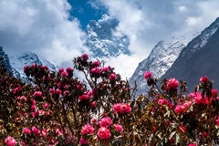 Rapidly blossoming rhododendron against of mountains. Royalty Free Stock Image