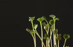 Rapidly growing sprouts. With black background Stock Photos