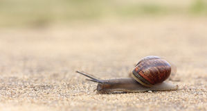 Rapidly moving snail Stock Image
