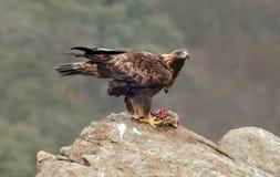 A rapina da águia dourada é comida imagem de stock royalty free