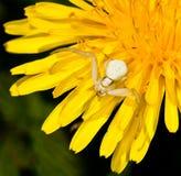 Rapina de espera da aranha do caranguejo foto de stock royalty free