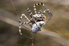 Rapina de uma aranha Fotos de Stock Royalty Free