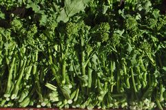 Rapini broccoli vegetables food. Rapini broccoli (Brassica rapa) aka broccoli raab or broccoli rabe vegetables vegetarian and vegan food stock image