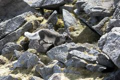 Raposa ártica Fotos de Stock Royalty Free