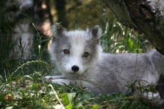 Raposa ártica Foto de Stock Royalty Free