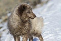 A raposa ártica azul do comandante que que olha afastado Fotografia de Stock