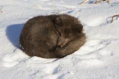 Raposa ártica azul dos comandantes que dorme no inverno da praia Fotografia de Stock