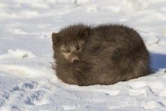 A raposa ártica azul dos comandantes que dorme ondulou acima o inverno Foto de Stock Royalty Free