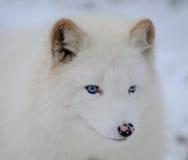 Raposa ártica branca eyed azul Fotos de Stock Royalty Free