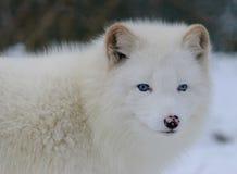 Raposa ártica branca eyed azul Imagens de Stock Royalty Free