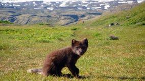 Raposa ártica em Hornstrandir Imagens de Stock Royalty Free