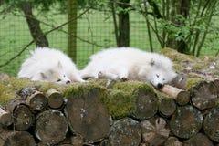 Raposa ártica (lagopus do Vulpes) fotos de stock
