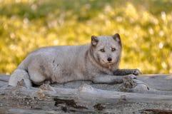 Raposa ártica que relaxa em alguns logs Fotografia de Stock Royalty Free