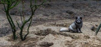 Raposa ártica que senta-se na areia, animal do hemisfério Norte imagem de stock royalty free