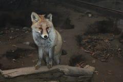 raposa Fotografia de Stock Royalty Free