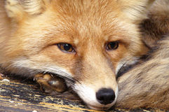 A raposa imagens de stock royalty free