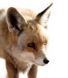 raposa Foto de Stock Royalty Free