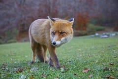 raposa Fotos de Stock Royalty Free