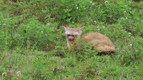 raposa Bastão-orelhuda de Tanzânia video estoque
