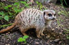 A raposa bastão-orelhuda (megalotis de Otocyon) Fotografia de Stock
