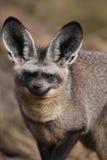 raposa Bastão-orelhuda Fotos de Stock