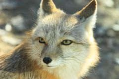 raposa branca Imagem de Stock Royalty Free
